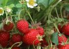 草莓种植中后期管理技术