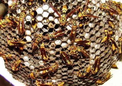 中华蜜蜂虫害防治技术