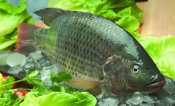 罗非鱼的网箱养殖技术