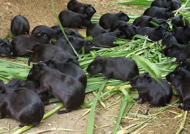 黑豚养殖技术