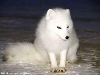 狐狸养殖的注意事项