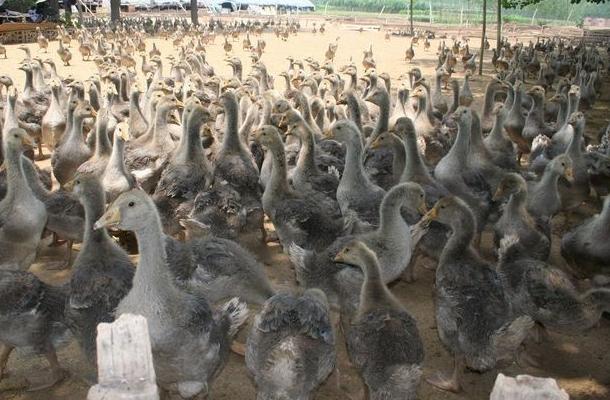 苍鹅的养殖技术