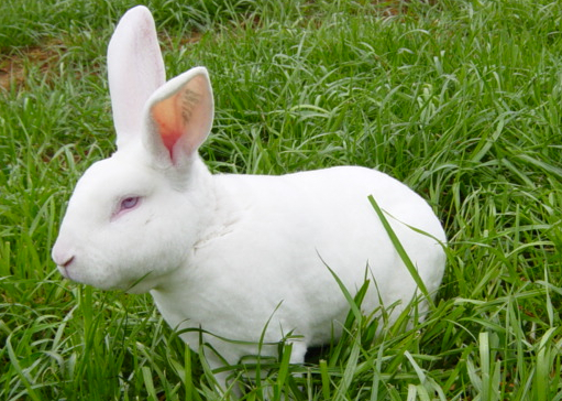 冬季獭兔养殖注意事项