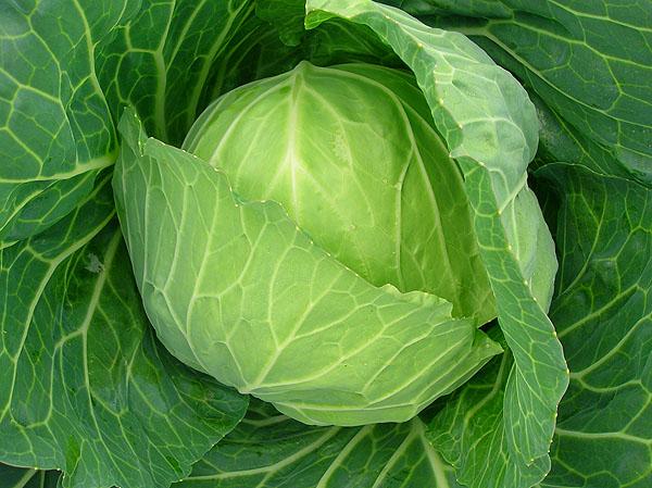 卷心菜种植技术