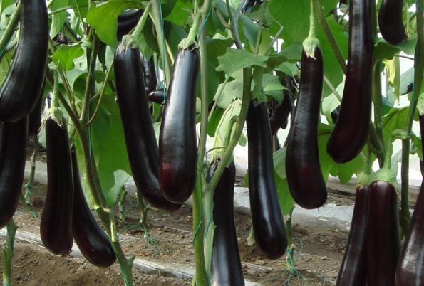 茄子种植管理技术