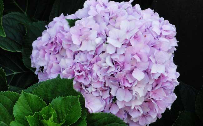 八仙花种植管理技术