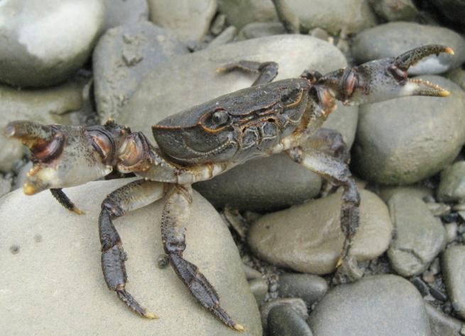 大规格河蟹的养殖技术