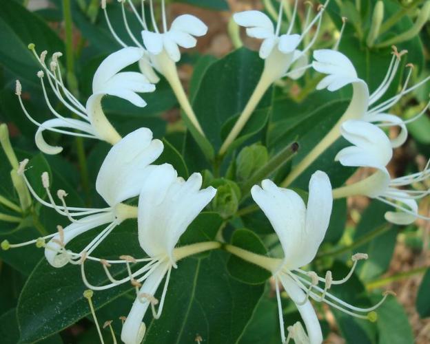 金银花种植技术