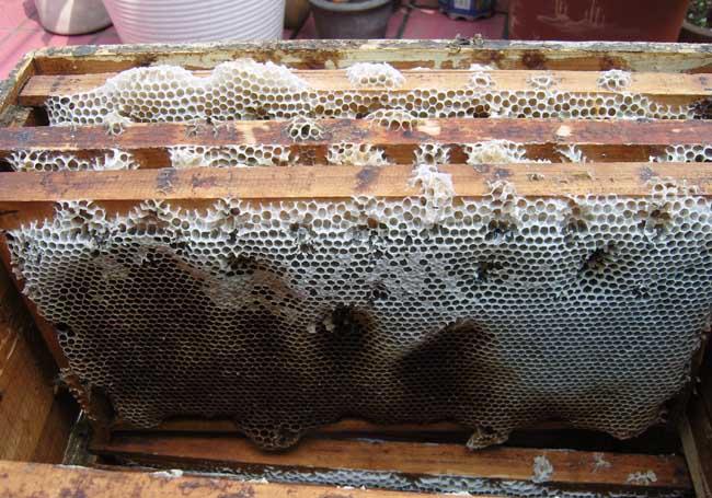 蜜蜂巢脾的修造方法