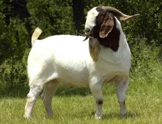 波尔杂交肉羊养殖技术