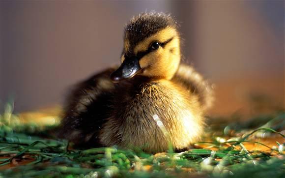 鸭的常用育雏技术