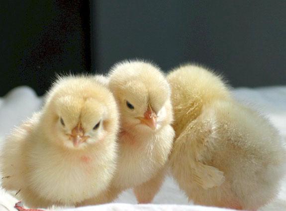 鸡育雏前的准备工作