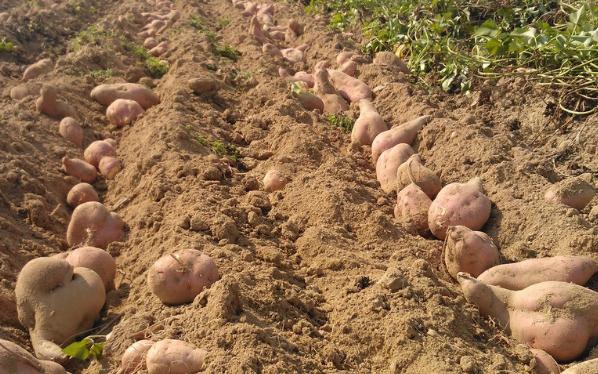 红薯高效种植技术