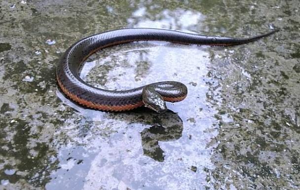 水蛇人工养殖技术