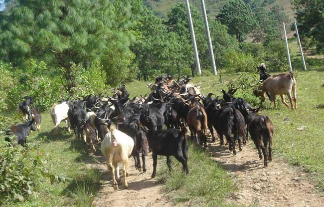 山区山羊养殖