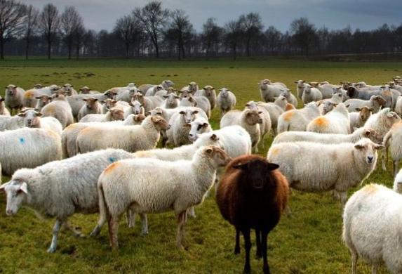 春季绵羊饲养管理技术