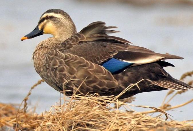 如何提高斑嘴野鸭成活率?