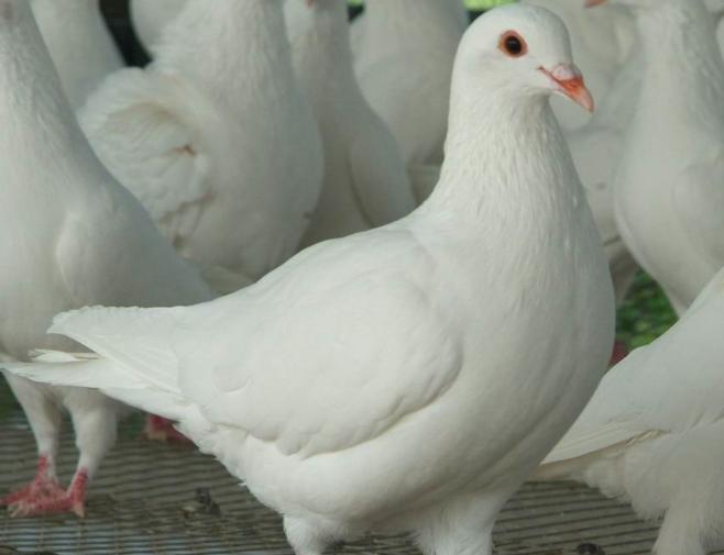 肉鸽常规饲养管理技术