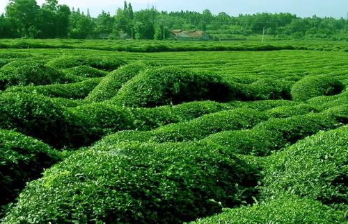 春季茶园管理抓六招促春茶增效