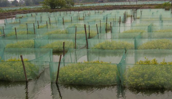 黄鳝网箱养殖的优势