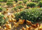 关于贵州养鸡市场怎么样的回答