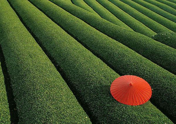 无公害茶叶种植技术