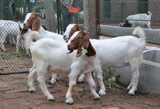 波尔山羊的繁殖技术