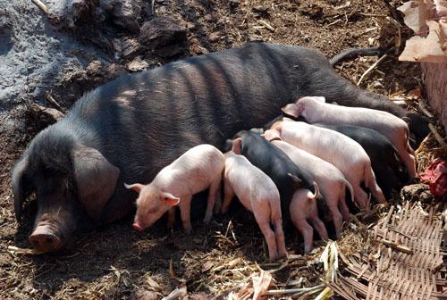 母猪饲养管理技巧