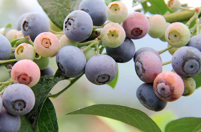 蓝莓种植技术