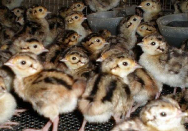 野鸡雏鸡阶段的初饮流程