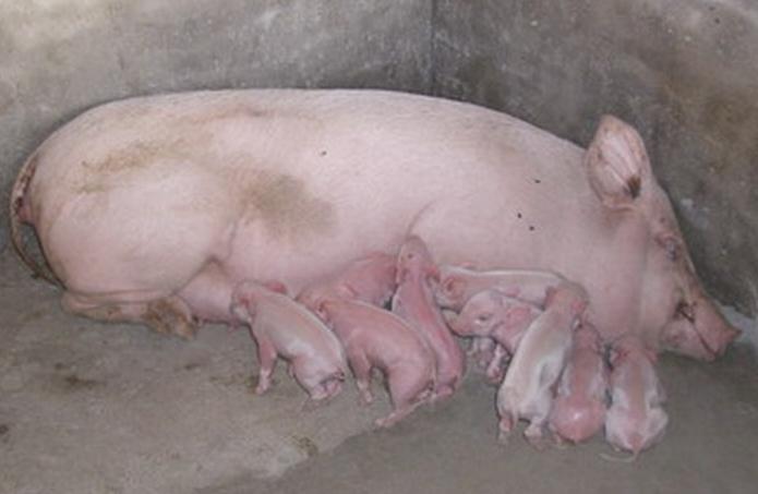 如何缩短母猪产程?