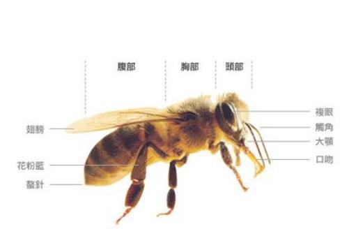 中华蜜蜂的身体构造