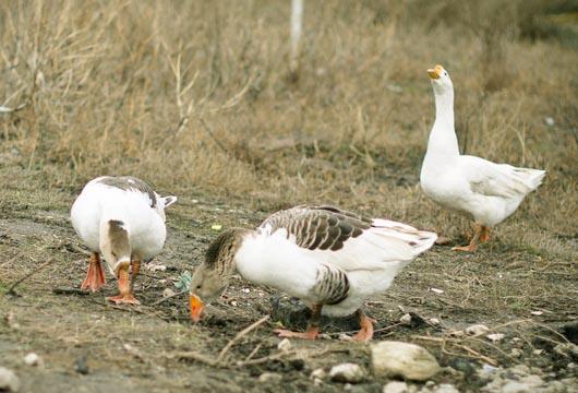 初春如何使鹅多产蛋?