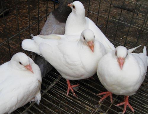 肉鸽咳嗽与喘怎样治疗?