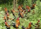 山林放养土鸡注意事项