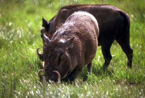 野猪养殖的可行性怎么样?