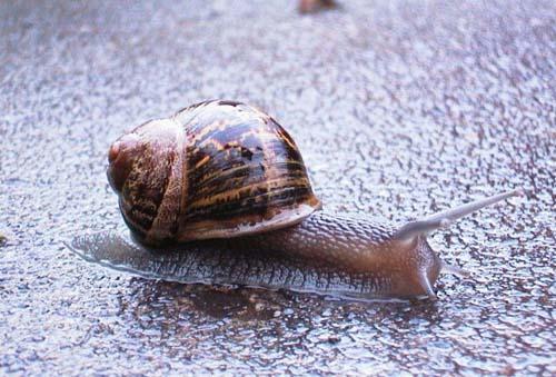 散大蜗牛的养殖技术