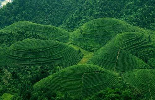 湄潭翠芽的制作工艺