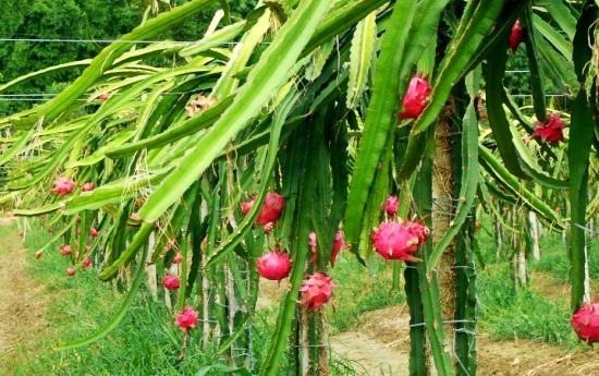 火龙果的种植技术