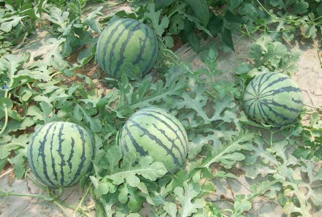 西瓜种植管理技术