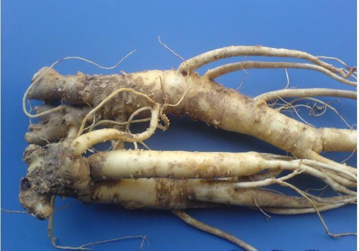 桔梗的种植技术