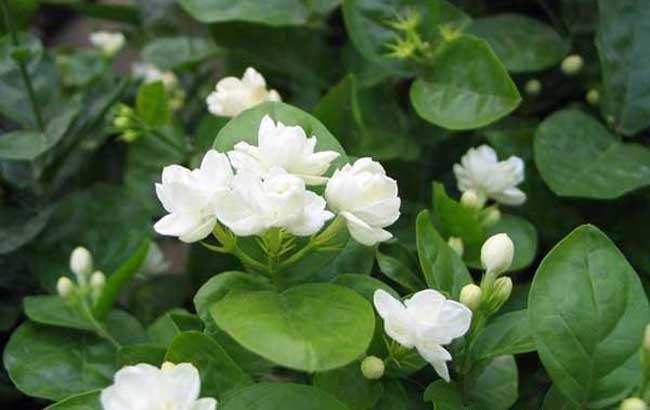 茉莉花的种植技术