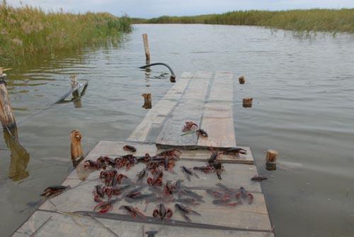 淡水龙虾养殖成本