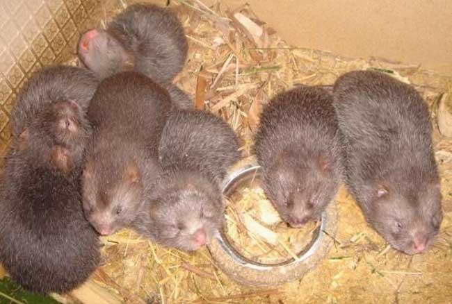 竹鼠的养殖成本预算