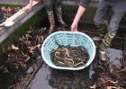 黄鳝养殖成本和利润