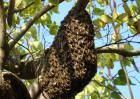 野生蜂群的诱捕技术