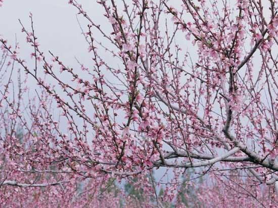 桃树修剪分夏季修剪和冬季修剪