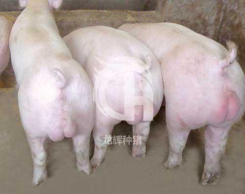 贵州省龙辉养殖有限公司的种猪