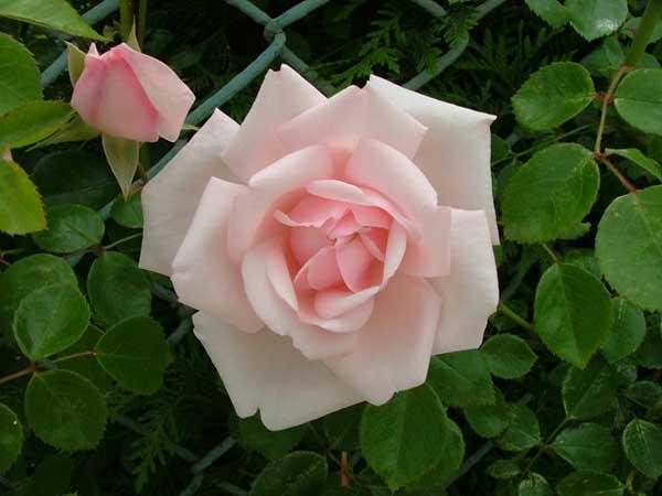 玫瑰花栽培技术 (2)