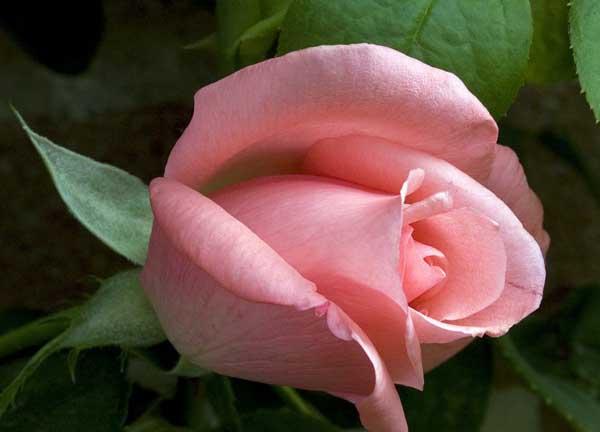 玫瑰花栽培技术 (3)